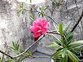 Flor de Berbería rosada - Caracas.JPG