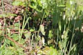 Flora della Sardegna 112 (03).jpg