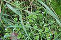 Flora della Sardegna 226 (01).JPG