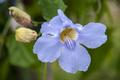 Flores da região de vila de igatu 4.png