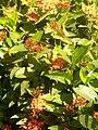 Flower in Kaduna 07.jpg