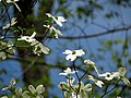 Flowering Dogwood (48343731077).jpg