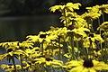 Flowers at Porter Lake, Forest Park, Springfield, Massachusetts - panoramio.jpg