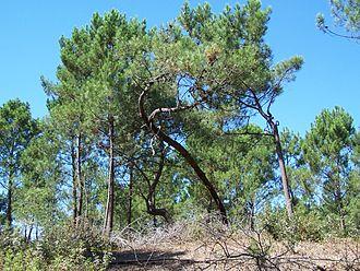 Forest of la Coubre - The forest of la Coubre near La Tremblade.