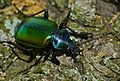 Forest Caterpillar Hunter (Calosoma sycophanta) (9137189866).jpg
