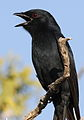 Fork-tailed Drongo, Dicrurus adsimilis, at Mapungubwe National Park, Limpopo, South Africa (18648936150).jpg