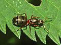 Formicidae - Formica pratensis - Queen-001.JPG