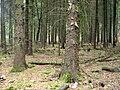 Forst-Billenhagen-Picea-sitchensis-13-04-2008-177.jpg
