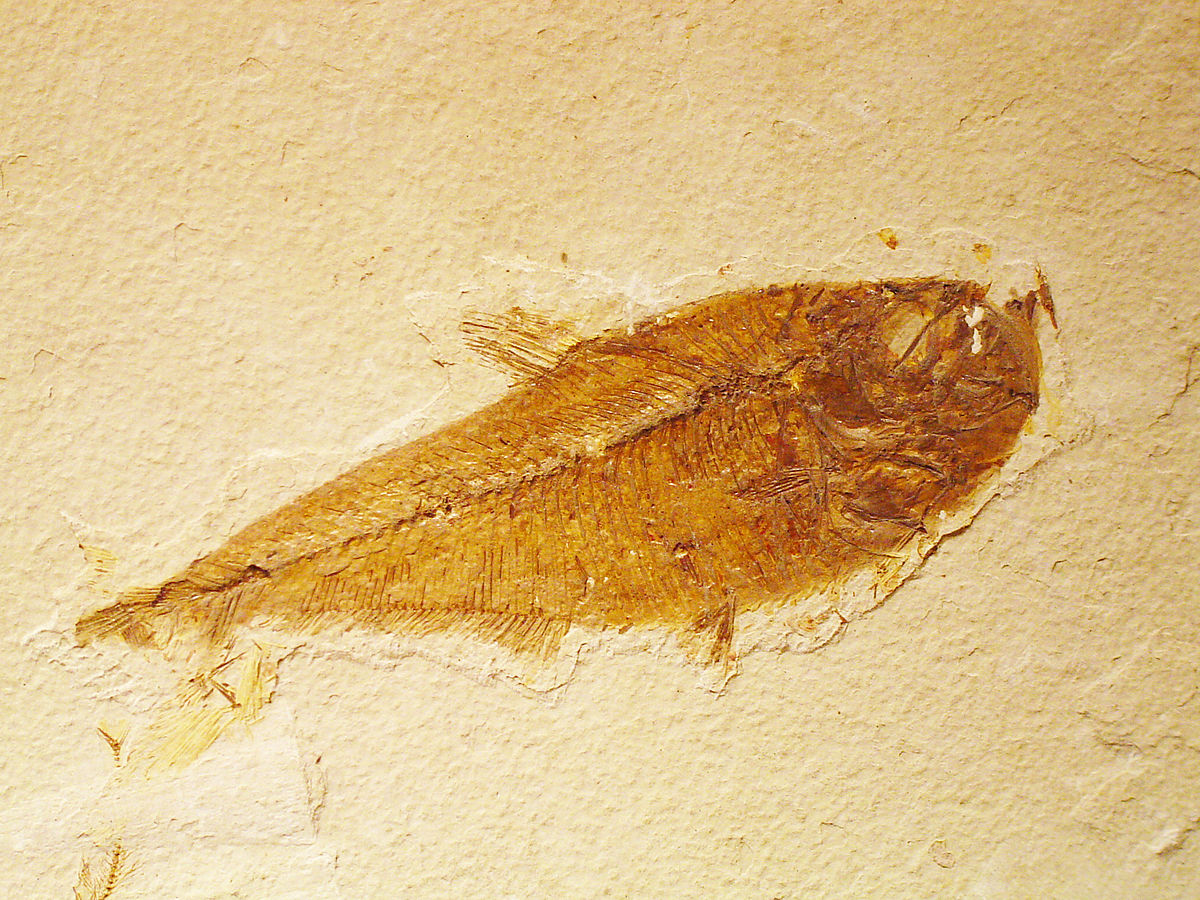 Fossil Actinopterygian.jpg
