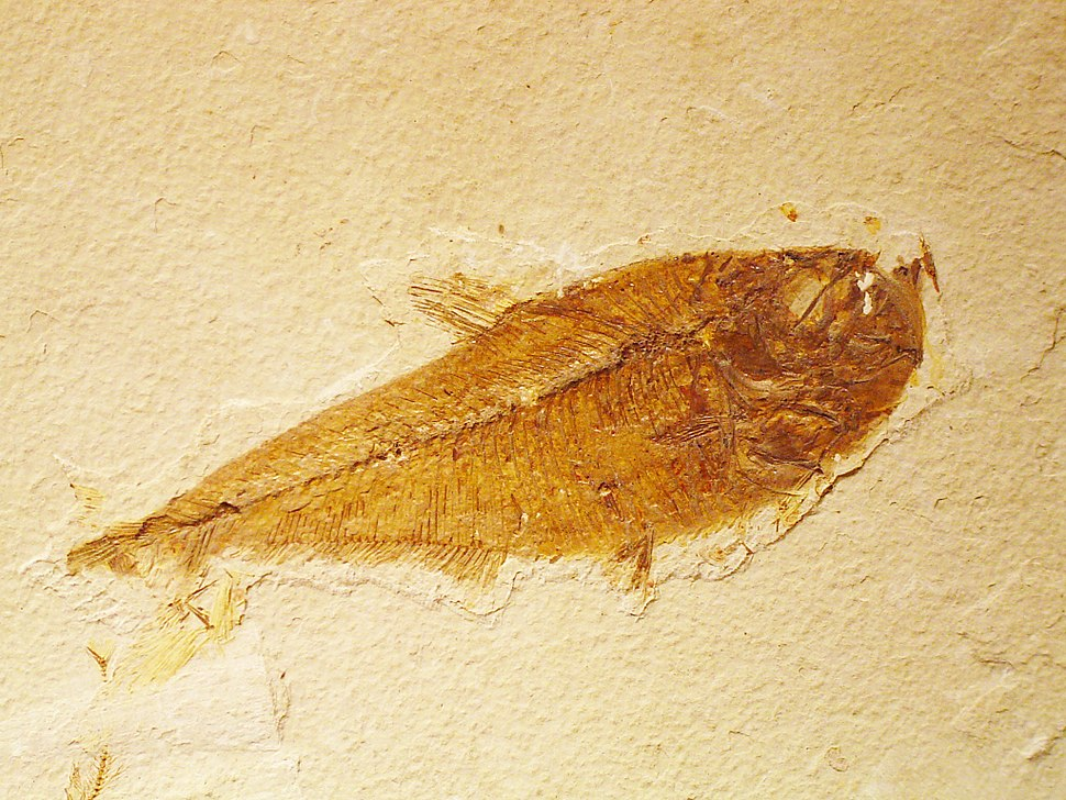 Fossil Actinopterygian