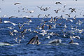 Four Humpbacks Feeding AdF.jpg