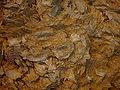 France-Sainte-Croix-Du-Mont-Huitre Fossile-2005-11-06.jpg