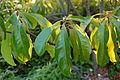 Franklin Tree Franklinia alatamaha Leaves 3008px.JPG