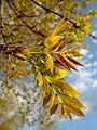 Fraxinus angustifolia subsp. oxycarpa 1.jpg