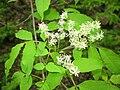 Fraxinus lanuginosa f. serrata 2.JPG