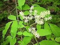 Fraxinus lanuginosa f. serrata 2