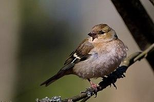 Fringilla Coelebs (Chaffinch), Female.