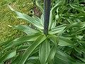 Fritillaria imperialis 2016-04-19 7816.JPG