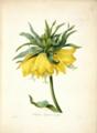 Fritillaria imperialis var. jaune. Redouté, , Choix des plus belles fleurs et des plus beaux fruits, t. 2, P.J. (1827).tiff