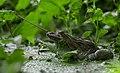 Frog 05.jpg