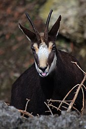 Gämse (Rupicapra rupicapra) Zoo Salzburg 2014 h.jpg