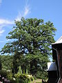 Górzanka - drzewo.jpg