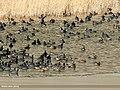 Gadwall (Anas strepera) & Eurasian Coot (Fulica atra) (31857877363).jpg