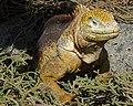 Galápagos land iguana - Flickr - pellaea (1).jpg