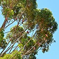 Galahs in tree, Wickepin, 2014(2).JPG