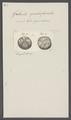 Galerites quadrifasciatus - - Print - Iconographia Zoologica - Special Collections University of Amsterdam - UBAINV0274 106 08 0012.tif