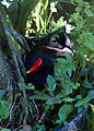 Gallinula galeata - Panaewa Rainforest Zoo, Hawaii, USA-8.jpg