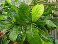 Gardenia remyi (5490650755).jpg