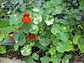 Gardenology.org-IMG 0715 bbg09.jpg