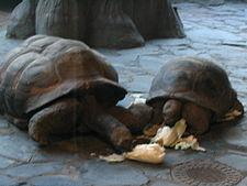 želva sloní