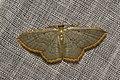 Geometridae (16029741076).jpg