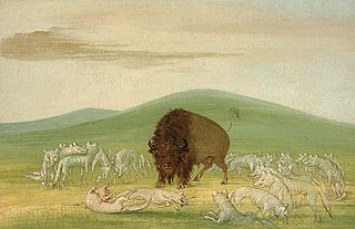 Wounded Buffalo Bull Surrounded by White Wolves