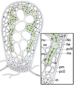 Geosiphon - Geosiphon pyriformis anatomy