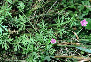 Stein-Storchschnabel (Geranium columbinum)