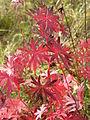 Geranium sanguineum (fall foliage) 1.jpg