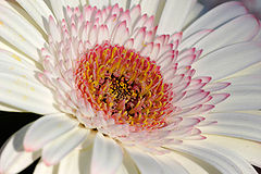Close up of a white gerbera
