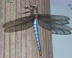 Gfp-giant-dragonfly-meganeura.jpg