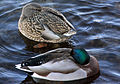 Gfp-two-mallards.jpg