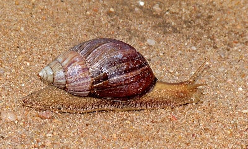 File:Giant Snail (Achatina sp.) (6607563035).jpg