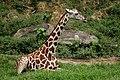 Giraffe (4257083036).jpg