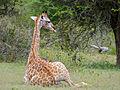 Giraffe (Giraffa camelopardalis) resting (12033317914).jpg