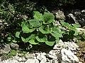 Glasenbachklamm plants.jpg