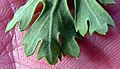 Glebionis segetum leaf (05).jpg