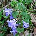 Glechoma hederacea ENBLA04.jpg