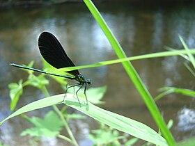 Glittering Demoiselle Dragonfly.JPG