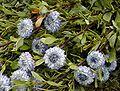 Globularia alypum.jpg